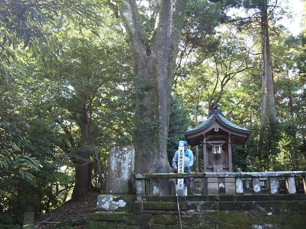 生目神社オガタマの木