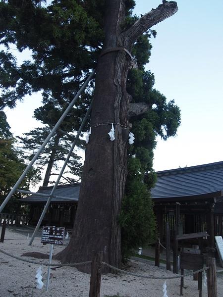 吉備津彦神社平成杉