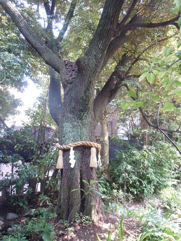 東京大神宮ご神木