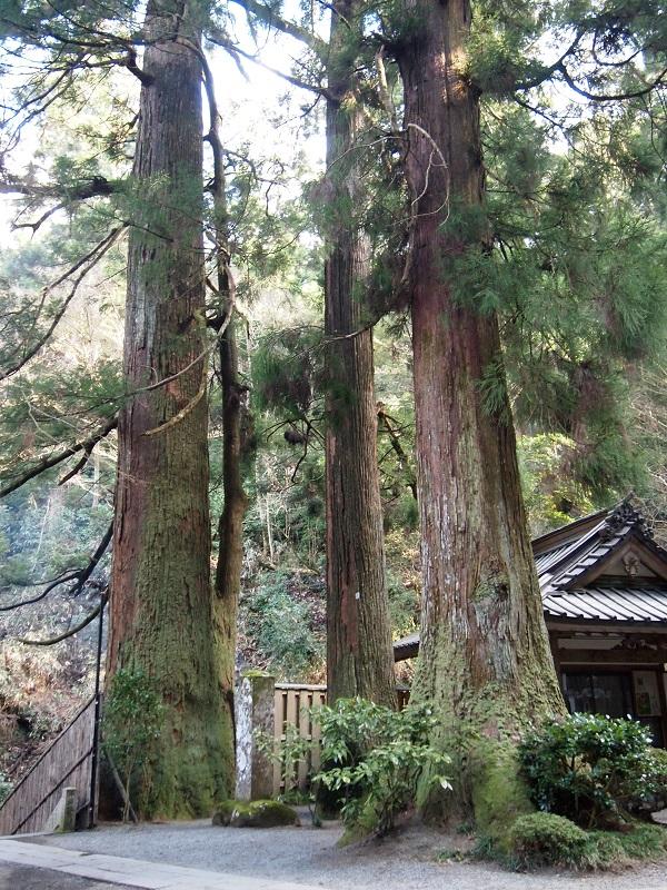 大雄山最乗寺 三本杉