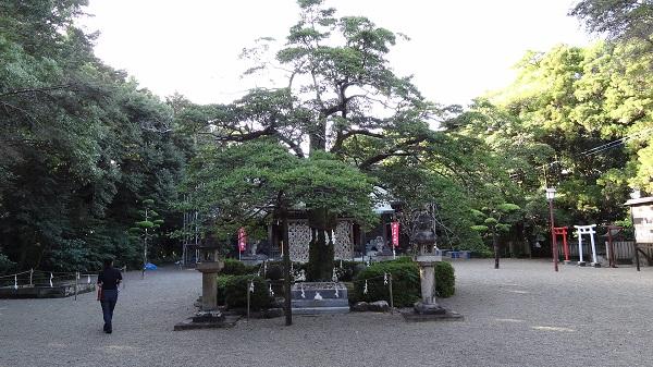 小戸神社 オガタマの木