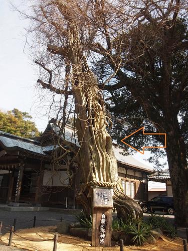 白浜神社ー白龍の柏槙2