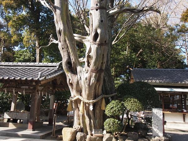 白浜神社ー薬師の柏槙
